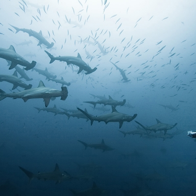 2007 School of scalloped hammerhead sharks at Cocos Island, Costa Rica