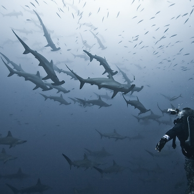 2007 school of hammerhead sharks at Alcyone, Cocos Island, Costa Rica