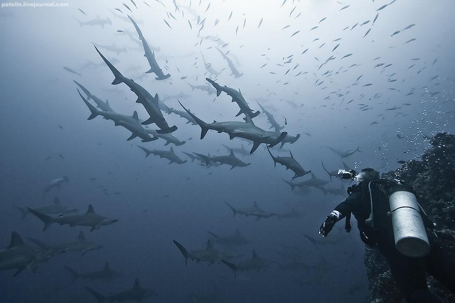 hammerhead shark life cycle