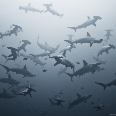 2007 school of hammerhead sharks at Punta Maria, Cocos Island, Costa Rica