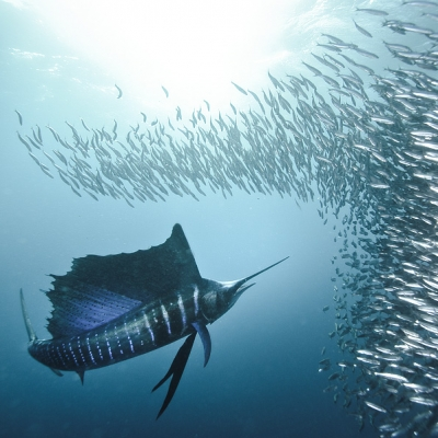 2008 sailfish hitting bait ball in Port St. John, South Africa