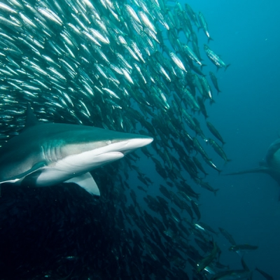 2010 Bronze whaler shark emerging from the bait ball during annual Sardine Run phenomena in South Africa