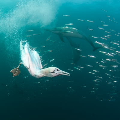 2010 South African Wild Coast with diving cape gannets and hunting common dolphins