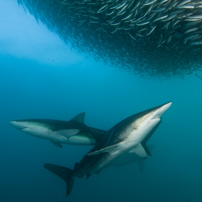 2010 bronze whaler and dusky sharks with sardine bait-ball, Wild Coast, South Africa