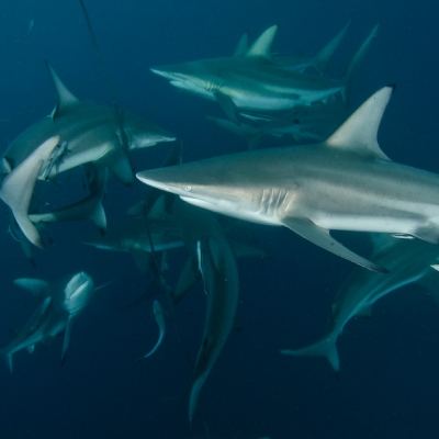 2010 shark dive on Aliwal Shoal - curious oceanic blacktips